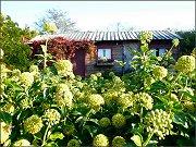 Blommande murgröna