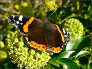 Fjäril på murgrönan